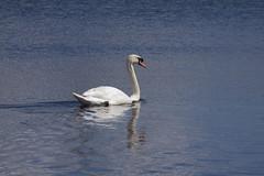 Mute Swan (2) (Mal.Durbin Photography) Tags: nature birds newport naturereserve newportwetlands maldurbin goldcliffnewport