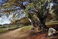 L'ultimo faggio - The last beech (Adriano_2) Tags: europa italia abruzzo laquila faggio faggeta albero autunno foglie allaperto rami inmontagna canon eos5d mkii digitale colori paesaggio natura flora magicmomentsinyourlifelevel4 ruby3