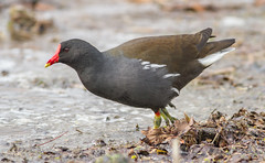 Common Moorhen (Gallinula chloropus) (George Wilkinson) Tags: park uk england bird london canon wildlife 7d l common avian moorhen 400mm bushy gallinulachloropus