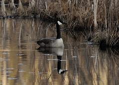 Floating the Marsh...... (l_dewitt) Tags: geese waterfoul native goose marsh canadagoose canadageese nikonphotos wildlifeimages naturephotos newlondoncounty wildlifephotos natureimages southernnewengland southeasternconnecticut newenglandwildlife nationalwildlifemagazinephotogrouppool earthnaturelife waterfoulphotos nikond5000photos waterfoulimages canadageeseimages nikonwildlifephotos