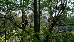 P1100688 (arborist.ch) Tags: tree baum treeclimbing arborist treecare baumpflege arboriculture