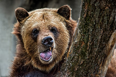 Grizzly Bear (John Greg Jr) Tags: ohio usa animals zoo unitedstates cleveland mammals carnivores grizzlybear clevelandmetroparkszoo camera:make=nikoncorporation exif:make=nikoncorporation exif:aperture=56 camera:model=nikond7100 exif:model=nikond7100 exif:lens=1803000mmf3556 exif:focallength=240mm exif:isospeed=1100