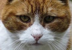 Ginge (julesbondy) Tags: white macro tom cat nose ginger eyes whiskers