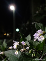 Solanum ptychanthum (Shiori Hosomi) Tags: flowers plants japan night tokyo march nocturnal nightshot   solanum 2016 solanaceae  solanales  noctuary  flowersinthenight  noctivagant 23