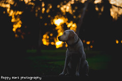 That time there was the sun. (floppyearsphotography) Tags: trees sunset dog sun colour sunrise warm labrador bokeh goldenhour muted dogphotography petphotography 52weeks maverickmonday