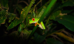 Red Eyed Tree Frog (jonng5000) Tags: travel costa nature animal rica frog