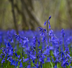 Floating in a sea of blue. (Through Bri`s Lens) Tags: wood blue bluebells forest sussex canon24105f4l spithandle brianspicer canon5dmk3
