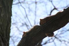 Squirrels in Ann Arbor at the University of Michigan (April 25, 2016) (cseeman) Tags: animal campus spring squirrels nest eating michigan annarbor siblings peanut cavity juvenile universityofmichigan knothole parenting squirrelnest cavitynest squirrelfamily treecavity squirrelcondo juvenilesquirrels knotholehouse aprilumsquirrel squirrelcavitynest squirrelparents umsquirrels04252016 umsquirrelcondo04225016 squirrelsiblings