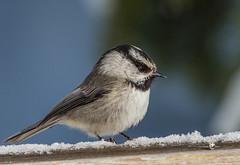 Mountain Chickadee (Poecile gambeli) (NigelJE) Tags: tit chickadee bigwhite poecilegambeli mountainchickadee poecile paridae nigelje