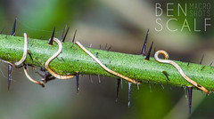 thorny branch - 105mm macro (ben.scalf) Tags: ohio plant macro green texture nature closeup nikon cincinnati science micro thorns dslr biology lightroom 105mm d3200
