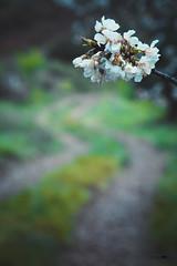 Prunus en el camino. (Juan Tecles) Tags: almendros