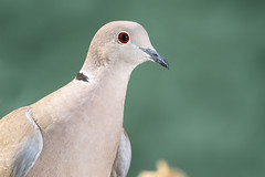 "Tortola turca ""Streptopelia decaocto"" (alimoche67) Tags: fauna minolta sony aves hide alpha slt translucentmirror josejurado"