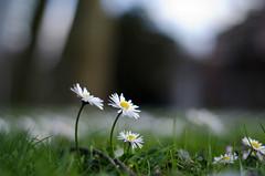 Rotterdam 10-04-2016 SM-13 (Pure Natural Ingredients) Tags: park flowers holland garden spring nikon d70 nederland thenetherlands sigma f18 f28 bloemen euromast zuid 105mm niceweather voorjaar schoonoord d90 50mmoutdoor botanicbotanishetuin