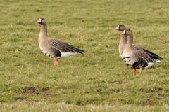 HNS_0921 Kolgans : Oie rieuse : Anser albifrons : Blassgans : White-fronted Goose