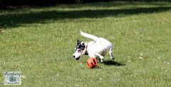 Charlie, Jack-Russel (4) (Enjoy my pixel.... :-)) Tags: dog ball jack fun russel run terrier laufen 2016 hudn