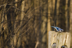 Cleared for Lift Off (flashfix) Tags: trees ontario canada bird nature animal fence spring nikon post bokeh branches ottawa bluejay mothernature cyanocittacristata 2016 cyanocitta merbleue d7000 merbleueconservationarea 55mm300mm 2016inphotos april232016