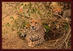 FEMALE CHEETAH WITH HER CUBS (Acinonyx jubatus).....MASAI MARA....OCT 2015. (M Z Malik) Tags: africa nikon kenya wildlife ngc safari npc cheetah masaimara maraserena cheetahfamily transmara flickrbigcats exoticafricancats d800e exoticafricanwildlife 400mmf28gedvr