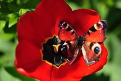 Tulp (anuwintschalek) Tags: red rot home butterfly garden austria spring tulip april 40mm garten niedersterreich schmetterling frhling kodu aed tulp kevad 2016 wienerneustadt micronikkor liblikas punane nikond90 kumadesign getkuma nahastliblikas