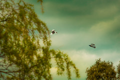 catch me if you can...... (dtapkir) Tags: uk flowers blue trees england sky green bird london colors sunshine clouds contrast fun fly nikon branch bokeh pigeon wing d750 catch serene golders 80400
