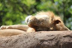 Lion (kylennadine) Tags: atlanta wild male nature animal animals cat photography zoo big feline wildlife lion lions felines zoos