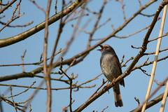 Heckenbraunelle (Prunella modularis) (kalakeli) Tags: look birds spring singing dunnock april he vgel mnster prunellamodularis frhling rieselfelder heckenbraunelle singingbird rieselfeldermnster singingdunnock singendeheckenbraunelle