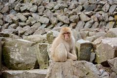 Japanese Snow Monkeys (amanda_face) Tags: japan monkeys hotspring nagano jigokudani japanesemacaque snowmonkeys jigokudanisnowmonkeypark