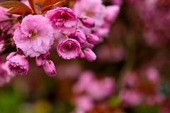 cherry blossom # 1 (__sam) Tags: flowers paris de cherry japanese spring cloudy blossom april sceaux pard 2016