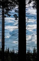 20160322-117 (sulamith.sallmann) Tags: plants tree nature silhouette natur pflanzen tschechien czechrepublic baum nadelbaum esko esk malpa sulamithsallmann krlovhradeckkraj