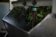 Processing new tea, Hachijuhachiya (Obubu Tea) Tags: greentea  tealeaves  japanesetea shincha   teaprocessing obubutea hachijuhachiya