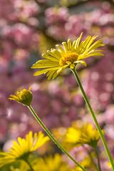 Frhlingszauber (jwfoto1973) Tags: flowers flower macro nikon blossom bokeh blumen cherryblossom blume makro blte cherrytree blten d7100 johannesweyers