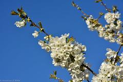 Cerisier (TICHAT10) Tags: france sunshine fleurs damn arbre cerisier champagneardenne coth coth5 sunrays5