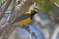 OLBASU 0486 (bryanjsmith62) Tags: wildbirds birdsofaustralia olivebackedsunbird cinnyrisjugularis nectariniajugularis yellowbelliedsunbird nectariniidae birdsofqueensland