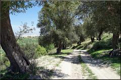 the old way down (mhobl) Tags: trees way path morocco maroc bume fes weg