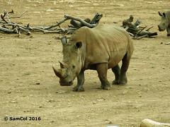 Monarto Zoo - Rhino (With Baby In-Tow) (samcol6) Tags: nature animals lumix zoo sam south australia panasonic rhino col 2016 monarto fz150 samcol6