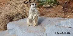 Monarto Zoo - Meerkat (samcol6) Tags: nature animals lumix zoo meerkat sam south australia panasonic col 2016 monarto fz150 samcol6