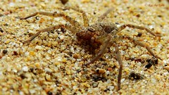 Sand Spider (Raj the Tora) Tags: portrait brown macro nature spider sand spiders wildlife arachnid 8legs 8eyes arachnidae brownspider sandparticles brownsand arachnae spiderportrait brownspiders spidersand spideronsand sandwithspider