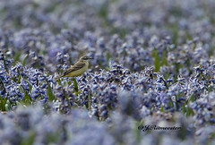 Gele Kwikstaart (jeannette.dejong) Tags: groen ngc geel noordholland bruin paars naturelovers gelekwikstaaart