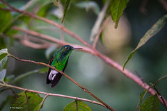 Perched hummingbird - Monteverde Cloud Forest Reserve, Costa Rica (Phil Marion) Tags: travel wedding boy vacation people woman hot sexy ass beach girl beautiful beauty sex canon naked nude nipples slim boobs nu candid dick young hijab nackt explore teen tranny xxx chubby plump  burqa nudo desnudo dink  nubile telanjang schlampe    5photosaday explored  thn nijab    kha    malibog    philmarion         saloupe