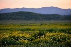 Daisy crazy (Marc Briggs) Tags: daisy wildflowers wildflower carrizoplain carrizoplainnationalmonument dsc6681aw