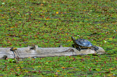 Western Painted Turtle (ajblake05) Tags: canada animals britishcolumbia turtles northamerica coquitlam reptiles vertebrates lowermainland greatervancouver emydidae bellii chrysemyspicta minnekhadaregionalpark vertebrata westernpaintedturtle