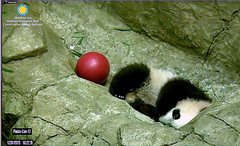 One eyed cutie......../as741.png (heights.18145) Tags: ccncby smithsoniansnationalzoo beibei meixiang pandas bears