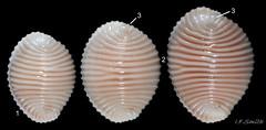 1 Trivia arctica. Heights (longest shell-dimensions) 8.7mm, 9.6mm, 11.2mm. Ardnamurchan, Scotland. April 1976.