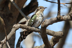 Chrysococcyx caprius  (Diderik Cuckoo) (Nick Dean1) Tags: bird southafrica aves cuckoo animalia krugernationalpark birdwatcher lowersabie sunsetdam chrysococcyxcaprius chrysococcyx thewonderfulworldofbirds birdperfect diderikcuckoo