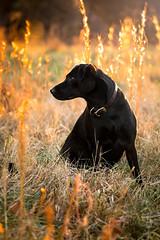 Golden Hour (rileytheblacklab) Tags: dog pet field labrador