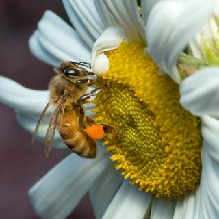 Honey Bee - Apis