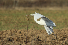 Velika bela aplja (natalija2006) Tags: white bird heron nature alba great ardea slovenia bela egret velika narava pti aplja