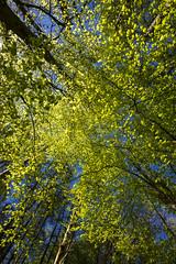Fresh foliage (Keartona) Tags: new trees england sunlight green nature leaves woodland spring woods bluesky fresh lookingup foliage beech etherowcountrypark erncroft