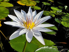 White Waterlily and Lily Pads by Kaye Menner (Kaye Menner) Tags: light sunlight white green water floral sunshine yellow photography whiteflower pond flora waterlily lily tranquility lilies waterlilies aquatic lilypads sunlit greenwhite fishpond lilypond whitegreen greenyellowwhite floralart nymphaeaceae whitewaterlily whitefloral aquaticflower whiteflora yellowstamen familynymphaeaceae waterlilyart mauvestamen kayemennerphotography kayemennerfloral kayemenner sunlitpond