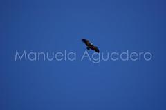 #hocesdelroduratn #2010 #segovia #castillalen #espaa #spain #buitre #vulture #buitreleonado #griffonvulture #ave #bird #fowl #naturaleza #nature #photography #photographer #sonyalpha #sonyalpha350 #sonya350 #alpha350 (Manuela Aguadero) Tags: espaa naturaleza bird nature photography spain photographer ave segovia fowl vulture buitreleonado buitre castillalen griffonvulture sonyalpha hocesdelroduratn sonyalpha350 sonya350 alpha350