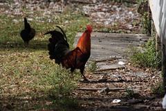 Canon201726 (godrudy6661) Tags: chickens chicken neworleans ninthward wildchicken feralchicken